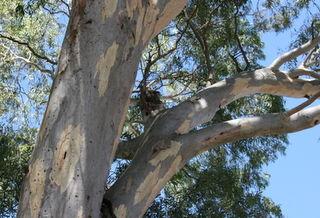 Koala 129