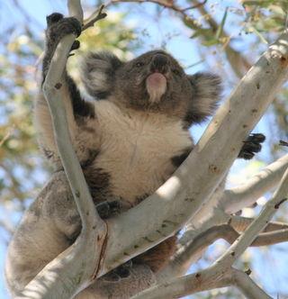 Koala 062