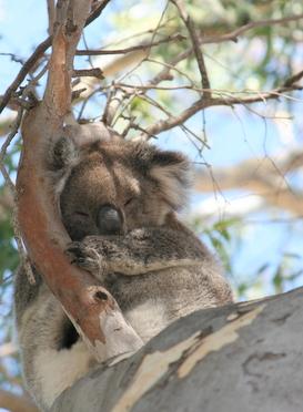 Koala 123