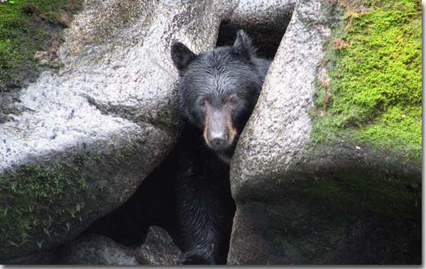 Hibernating-bear-coming-out-of-cave1